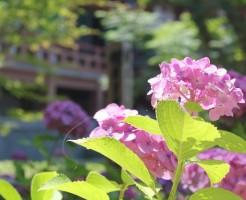 京都のあじさい